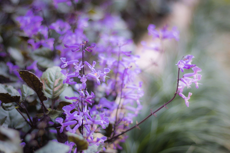 Beautiful purple flowers in the garden, floral background, flower images