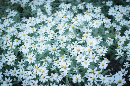 Beautiful white flowers in the garden, background photos, nature photos