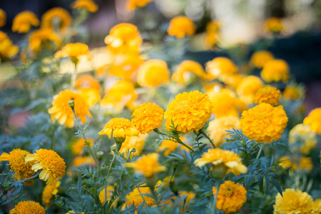Beautiful yellow flowers in the garden, floral background, floral images Imagens