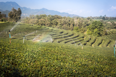 Green tea farm in the mountains in the season for harvest.