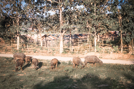 Buffalo was raised in the fields, Buffalo photos were left to feed. Imagens
