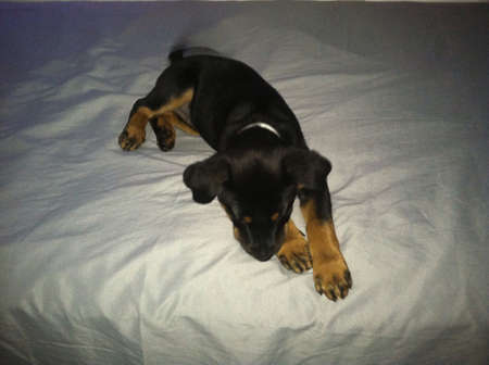 otganimalpets01: Puppy rottweiler sleeping on a conftorable bed