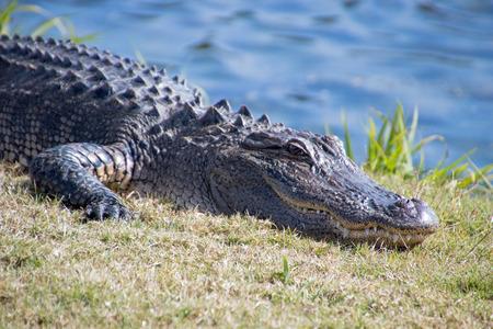 North Carolina Alligator