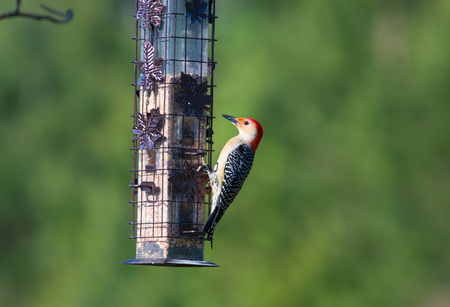 Red bellied woodpecker on a feeder Banque d'images - 105820007
