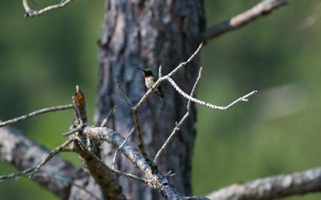 Hummingbird sits in a tree