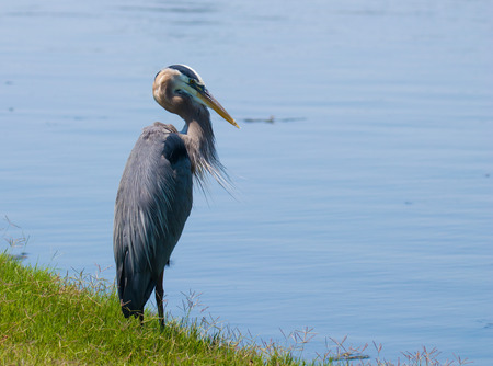 Great Blue Heron near the water