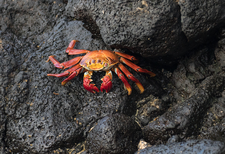 Galapagos Islands Brightly Colored Crabs