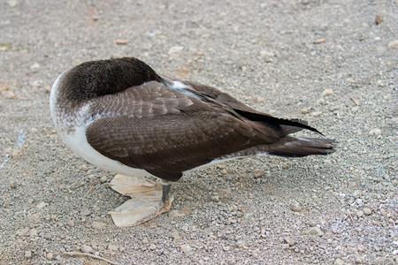 A bird hides its head on the Galapagos Islands Banco de Imagens