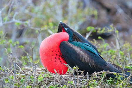 Male Frigate Bird on the Galapagos Islands with Red Pouch Inflated