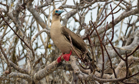 Red Footed Booby Bird on the Galapagos Islands Stock fotó