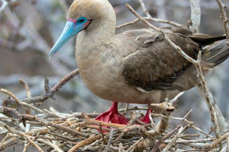 Galapagos Island Red Footed Booby Bird