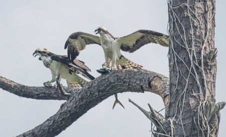 Ospreys perched in a tree after catching a fish Banco de Imagens