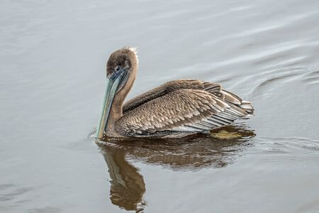 Pelican on a pond in Huntington Beach State Park, Murrells Inlet, SC 免版税图像