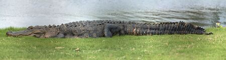 Alligator laying near the water
