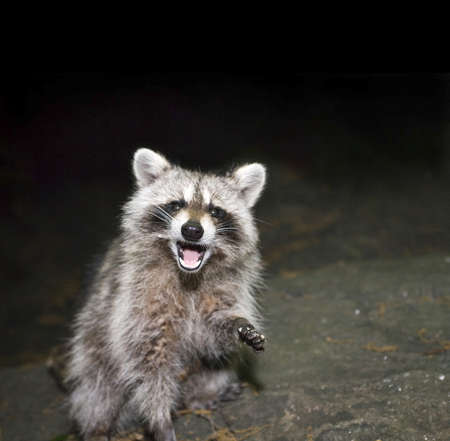 Photo of Raccoon taken at night inside Central Park in New York City, USA.  Photographed June, 2009.