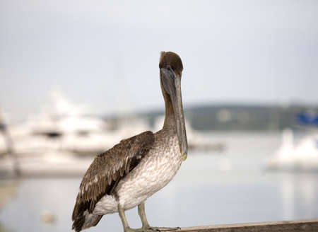 Close up of young Brown Pelican (Pelecanus occidentalis)  Banco de Imagens