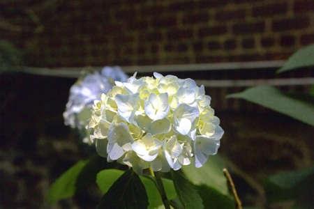 botanica: Common garden plant.