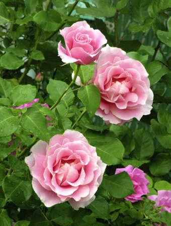 Conrad Ferdinand Meyer Garden Rose in bloom.   Stock Photo