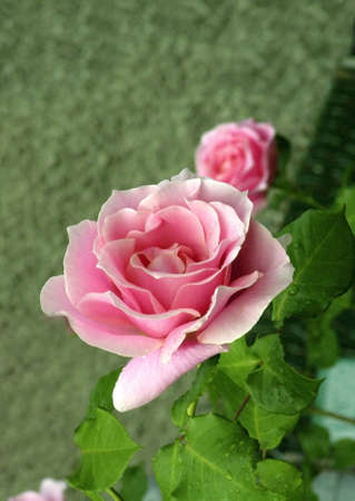 Conrad Ferdinand Meyer Garden Rose in bloom.   Stock Photo