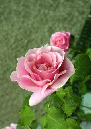 Conrad Ferdinand Meyer Garden Rose in bloom.   Archivio Fotografico