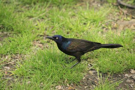 The Common Grackle, Quiscalus quiscula