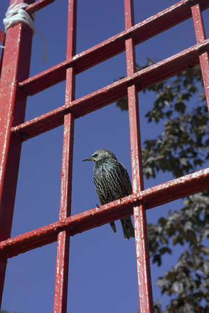bipedal: The Common Starling (Sturnus vulgaris), also known as the European Starling  Stock Photo