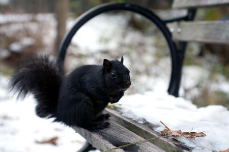 A black squirrel from the family Sciuridae