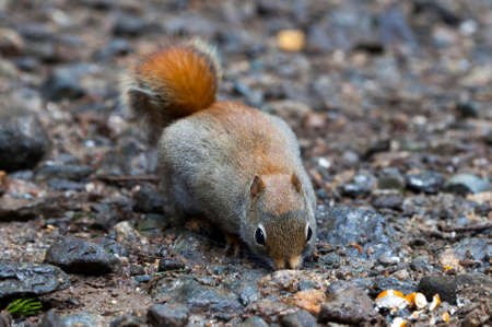 North American red squirrel at Mount Washington, Coors County, New Hampshire. Stock Photo