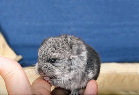 Baby pet Chinchilla interacting with human hand. Stok Fotoğraf