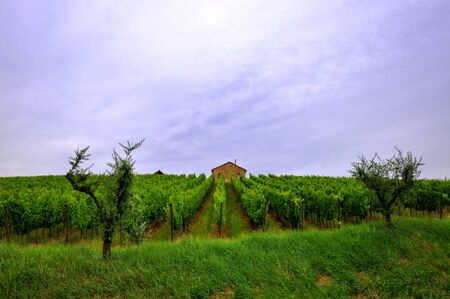 a vineyard between 2 trees and with a house as background in the hills of Romagna, Italy Stock Photo - 10869801