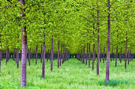 rows of poplars Stock Photo - 13675327