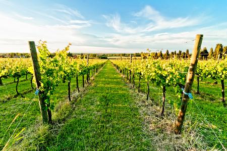 emilia romagna: vineyard in Reggio Emilia hills in Emilia Romagna, Italy