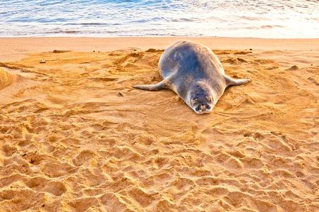 An endangered Hawaiian Monk Seal rests on Poipu beach at sunset in Kauai, Hawaii Reklamní fotografie