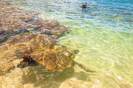 chelonia: Green Sea Turtle  Chelonia Mydas  swimming in ocean sea in Maui, Hawaii Stock Photo