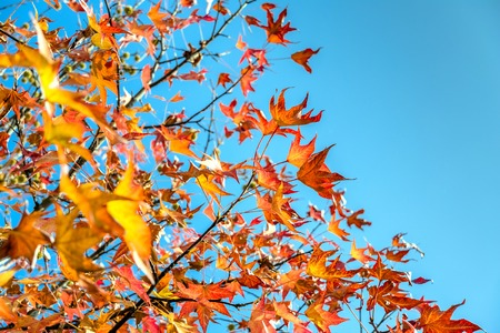 tree branches with yellow leaves in autumn and blue sky