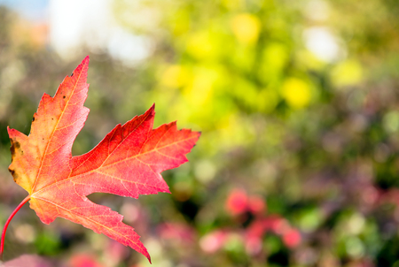 red autumn leaf with foliage blurred background