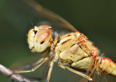 anisoptera: Closeup portrait of a Dragonfly sitting on a tree