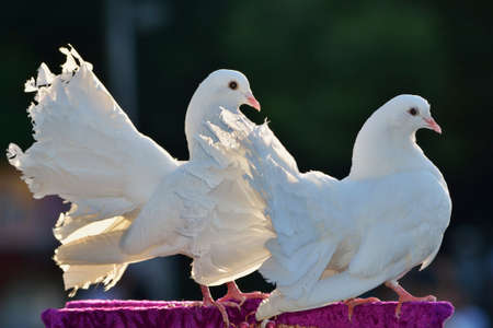 white pigeon: A couple of doves - the symbol of love Stock Photo