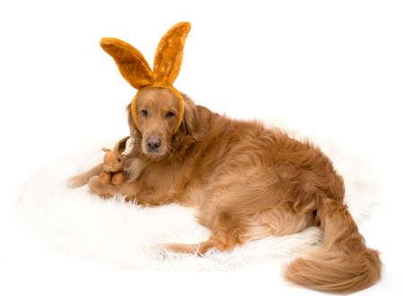 Bunny Golden Retriever dog with bunny ears isolated on white.