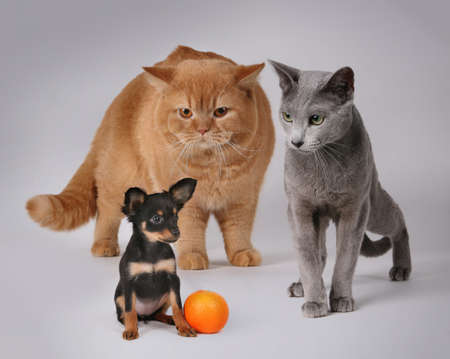 Russian Toy and cats in front of gree background whit orange