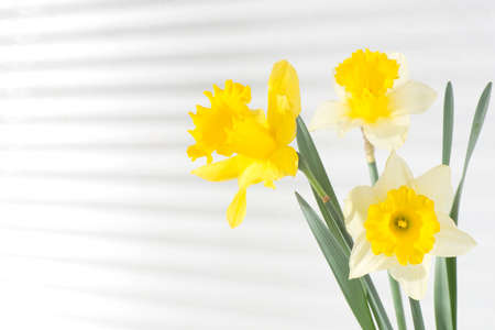Beautiful flowers of daffodils yellow and white against the wall background with shadows from the blinds close-up