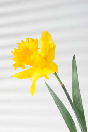 Beautiful flower daffodil yellow on the background wall with shadows from the blinds close-up