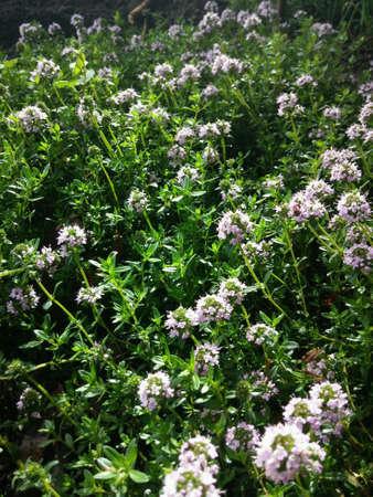 tomillo: Flores de tomillo en primavera