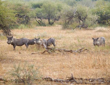 bush hog: Botswana Warthog in savanna. Stock Photo