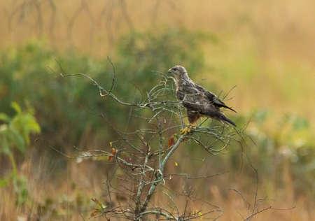 Black Kite Eagle in Conkouati Douli national park, Congo.