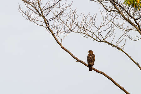 black kite: Black Kite Eagle in Conkouati- Douli national park, Congo.