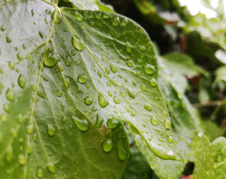 Leaf of ivy plant with rain drops