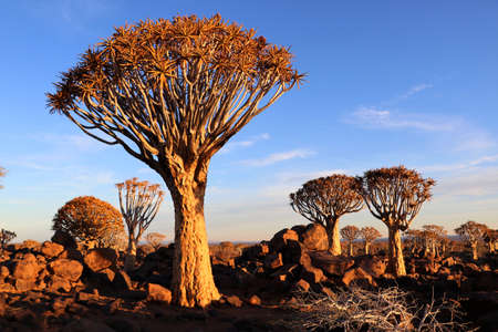 Quiver Tree Forest - Namibia Stock Photo