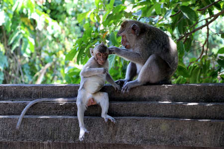 Monkey mom cares for her cild - Bali