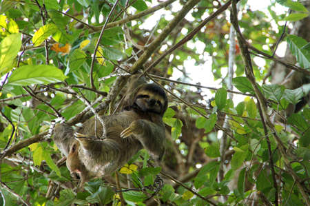 three-toed sloth in the tree - Costa Rica